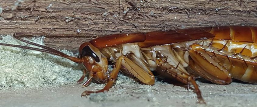 cockroach control northern beaches