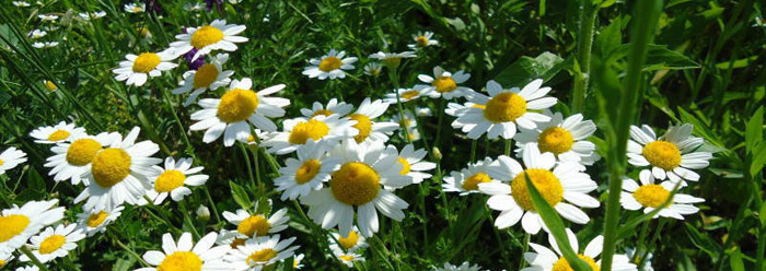 pyrethrum natural pest control